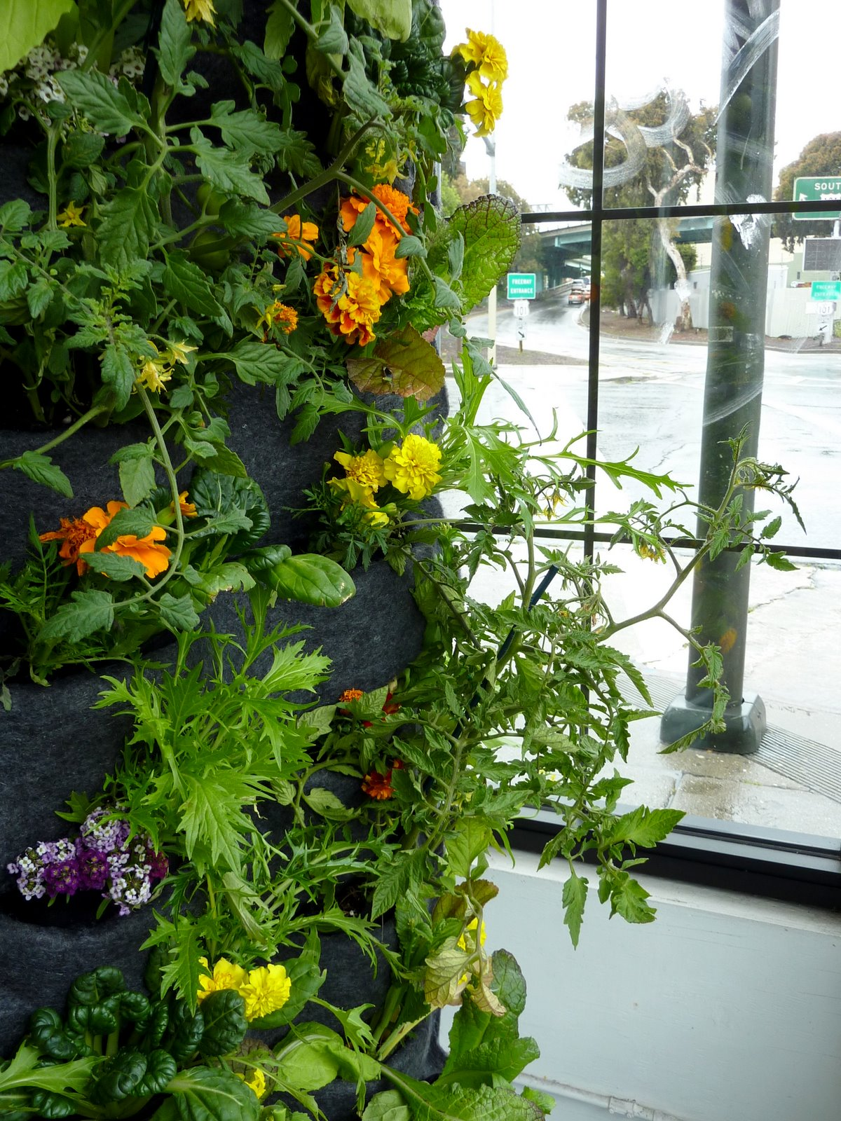 Aquaponic vertical vegetable garden plants on walls for Vertical vegetable garden