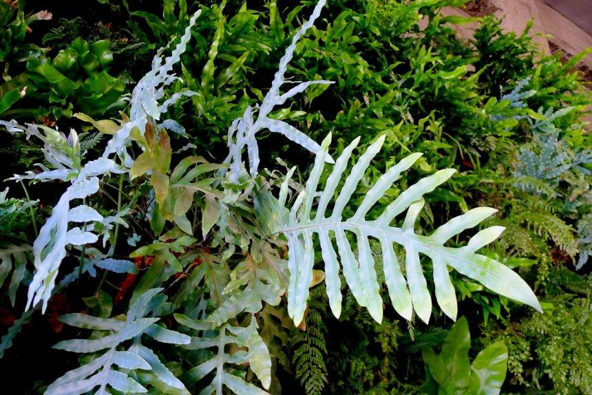 Urban Bistro Vertical Garden by Chris Bribach, Plants On Walls. Florafelt System. Blue Star Fern.
