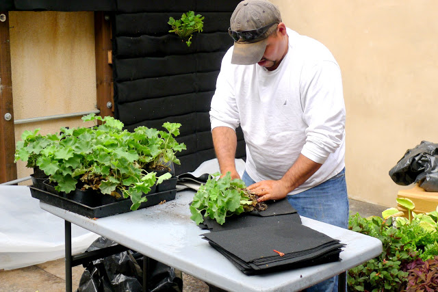 Worker prepares a Florafelt Root-Wrapped plant, Siteworks Landscape